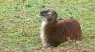 Stock Video Footage of Soay Lamb Chewing His Cud - At Rural Ohio Farm