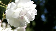 Stock Video Footage of Beautiful White Roses 3