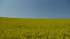 Oil Rape Flowers In The Field Stock Footage
