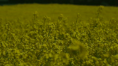 Rapeseed Flowers In Cultivated Field Stock Footage