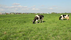 Cows eat grass Stock Footage