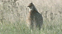 P00968 Prairie Chicken Male Display Stock Footage
