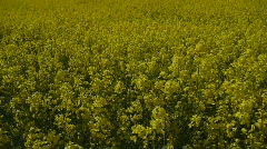 Background Of Flowering Canola Field Stock Footage