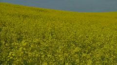 Flowering Canola Field Stock Footage