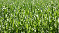 Green wheat close-up Stock Footage