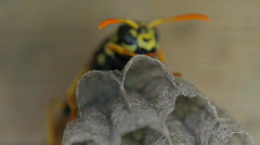 Yellow Jacket Wasp tends to eggs in nest Stock Footage