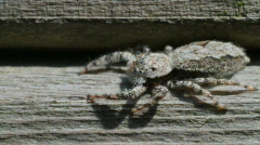 Jumping Spider spins left to right - stock footage