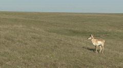P00978 Pronghorn Antelope on Prairie - stock footage