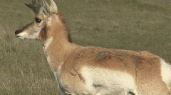 P00979 Pronghorn Antelope Buck - stock footage