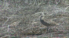 P00981 Marbled Godwit Stock Footage