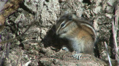 P00984 Least Chipmunk Stock Footage