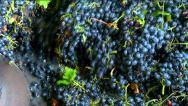 Grind a black grapes at the factory for the production of wine Stock Footage