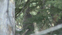 P00985 Ruffed Grouse Under Spruce Tree Stock Footage