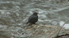 P00986 American Dipper on Rock Stock Footage