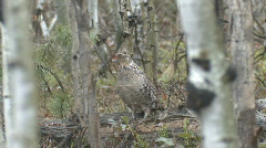 P00988 Ruffed Grouse on Log Drumming Stock Footage
