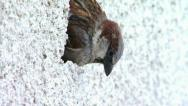 Sparrow makes a nest in a hole on the building wall Stock Footage