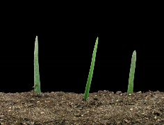 Time-lapse of growing onion with alpha matte 11e (Cinema 2K) Stock Footage