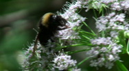 Bumblebee pollinate a flower white Stock Footage