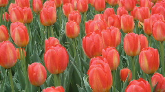 Spring tulips. Two shots. Stock Footage