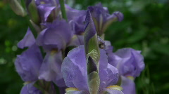 irises in bloom spring, close-up - stock footage