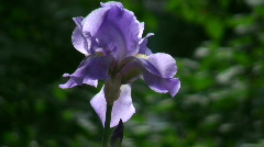 Iris flower close-up Stock Footage