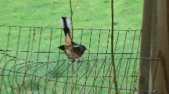 Rufous-sided Towhee at Rural Ohio Farm #2 Stock Footage
