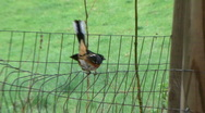 Stock Video Footage of Rufous-sided Towhee at Rural Ohio Farm #2