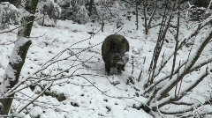 Two boars go through winter woods Stock Footage