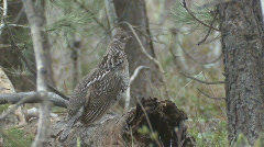 P00994 Ruffed Grouse Drumming on Log Stock Footage