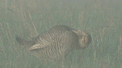 P00998 Prairie Chicken Male Grooming and Calling Stock Footage