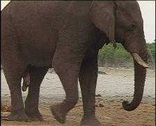 Elephant Penis Stock Footage