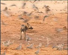 Wild Dog  Stock Footage