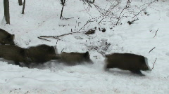 Herd of wild boar running through snow Stock Footage