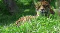 agile jaguar Footage