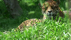 agile jaguar - stock footage