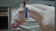 Stock Video Footage of Albino Horse