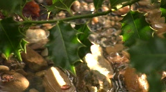Holly Tree 02 Stock Footage
