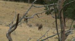 Rocky Mountains Elk - 01 Stock Footage