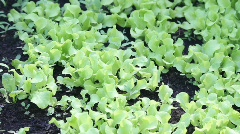 Garden greens Stock Footage