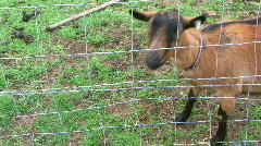 Goat Stares at Camera - At Rural Ohio Farm - stock footage