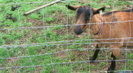 Stock Video Footage of Goat Stares at Camera - At Rural Ohio Farm