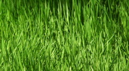 Stock Video Footage of Young grass