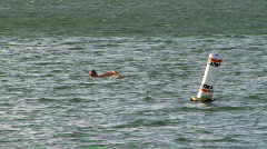 Ocean Swimmers San Francisco Bay 01 Stock Footage