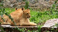 African Lions Footage