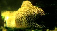 Dragon moray eel (Muraena) Stock Footage