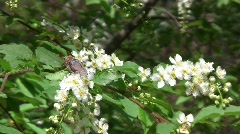 Сockchafer (Melolontha hippocastani) on blossoming branch of bird cherry tree  Stock Footage