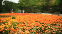Close focus field of flowers Stock Footage