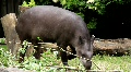 South american Tapir (Tapirus Terrestris) HD Footage