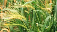 Stock Video Footage of wheat close up