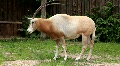 Oryx (Scimitar-horned oryx gazella) HD Footage